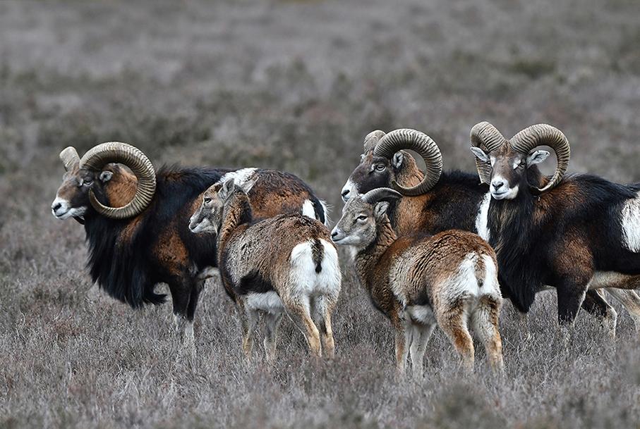 kudde Moeflons 1 – Foto: ©Louis Fraanje