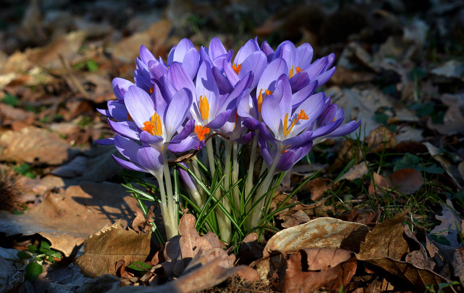 Een klein polletje crocussen bij elkaar – Foto: ©Louis Fraanje