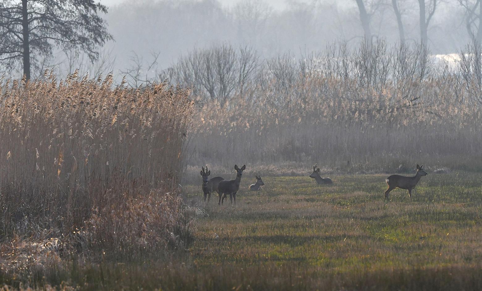 Helemaal achterin het veld stond een groepje reeën te kijken - Foto: ©Louis Fraanje