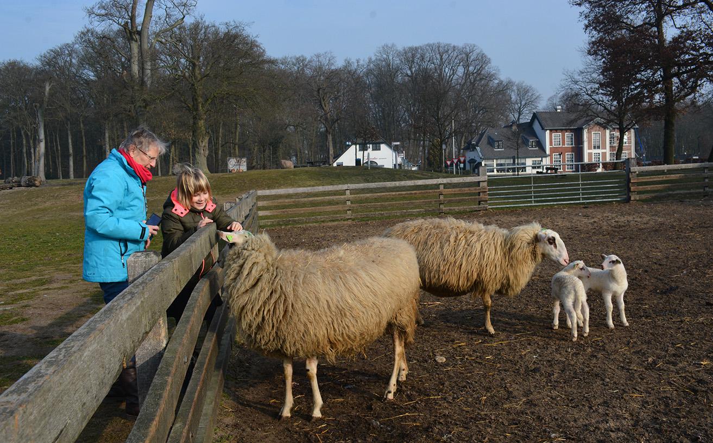 Oma kijkt toe hoe kleindochter Lisa helemaal in de ban is van de schapen – Foto: ©Louis Fraanje