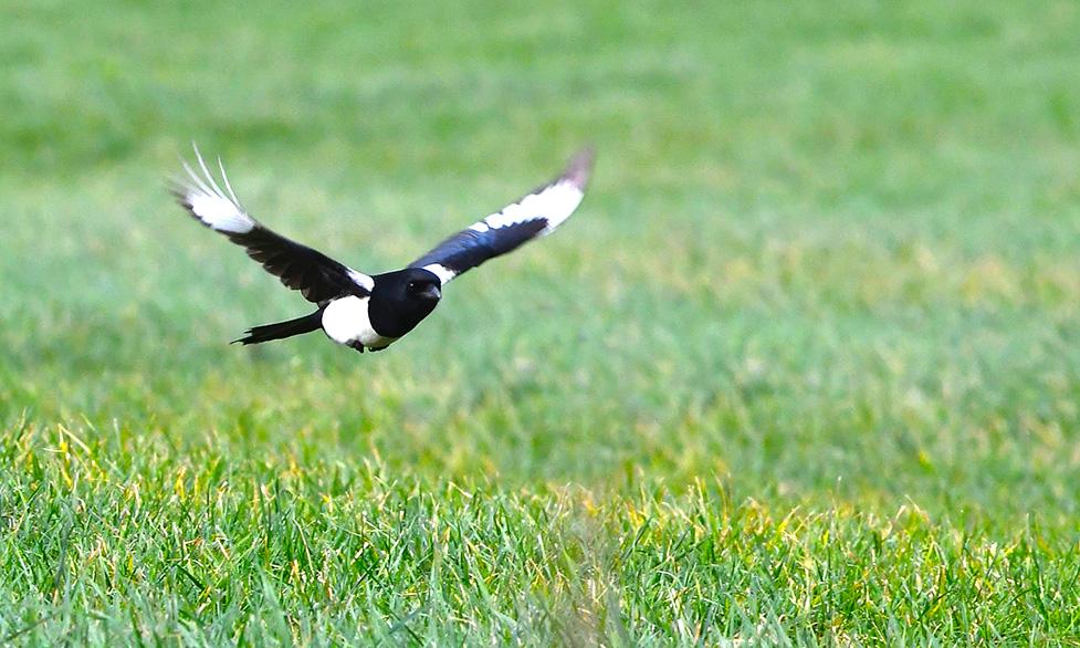 Een korte vlucht laag over het weiland – Foto: ©Louis Fraanje