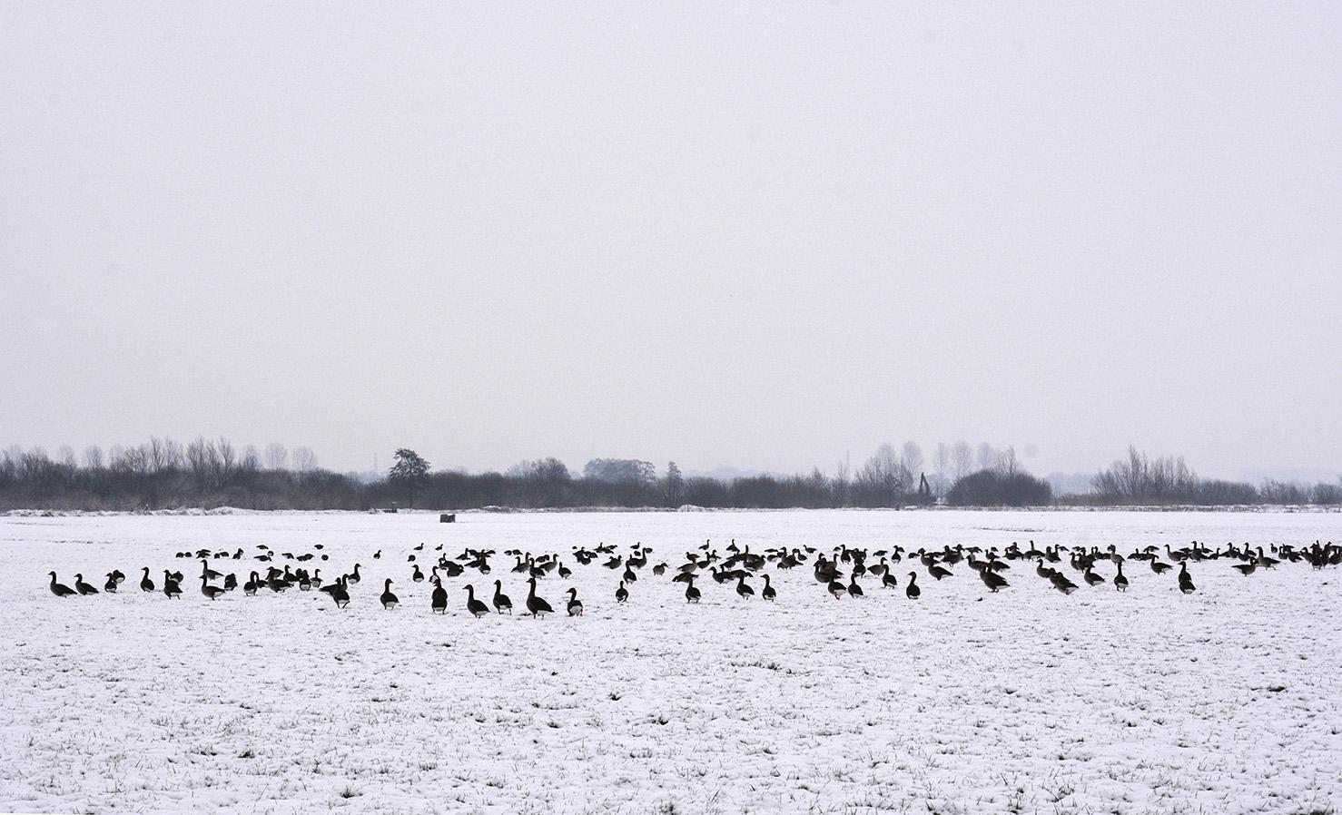 In het weiland zien we talrijke Grauwe ganzen zitten – Foto: ©Louis Fraanje