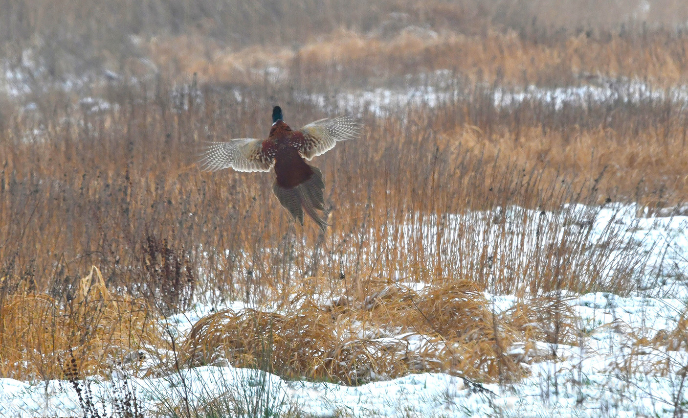 Opeens vloog er een fazantenhaan omhoog uit de sneeuw – Foto: ©Louis Fraanje