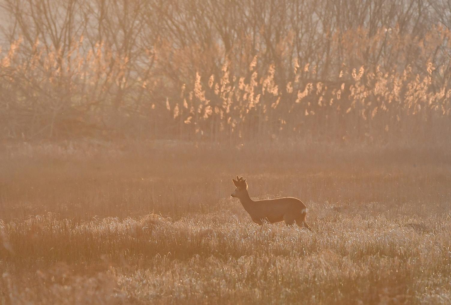 Een reebok is op weg naar het bosje achter de rietpluimen - Foto: ©Louis Fraanje
