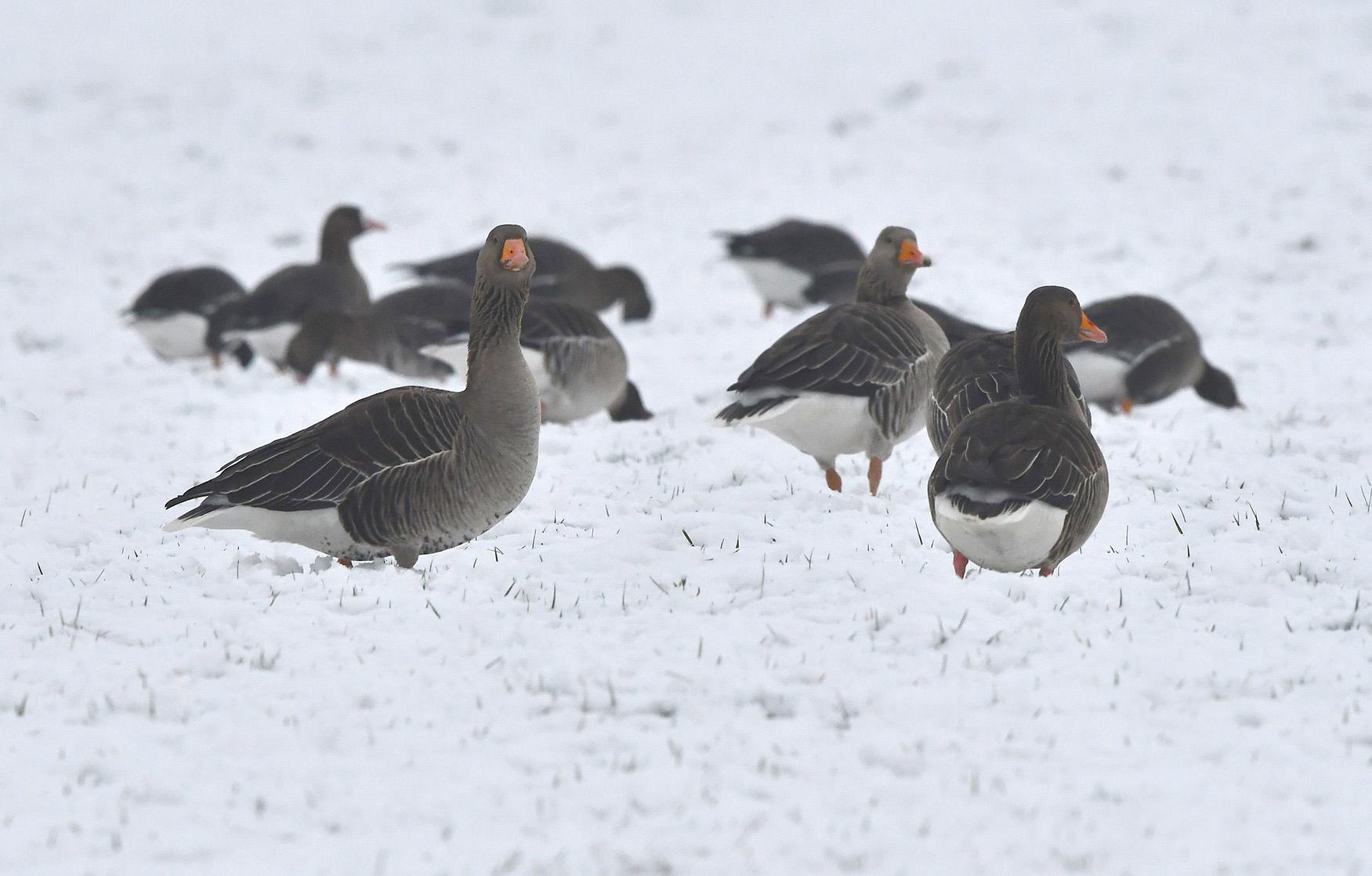 Nieuwsgierige Grauwe ganzen dicht bij elkaar...