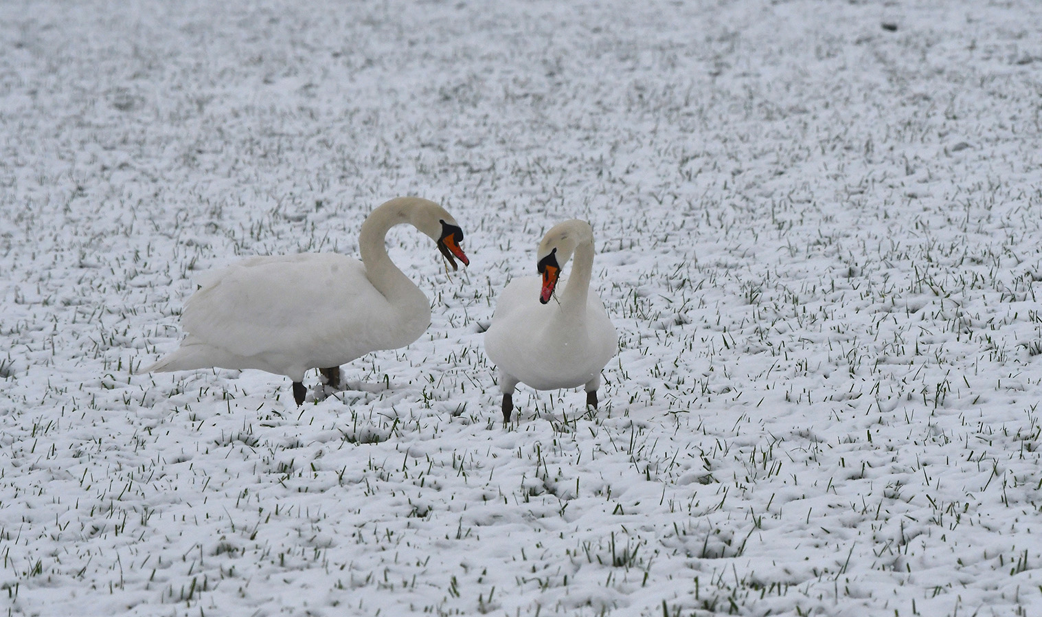 Knobbelzwanen vallen niet op in de sneeuw - Foto's: ©Louis Fraanje