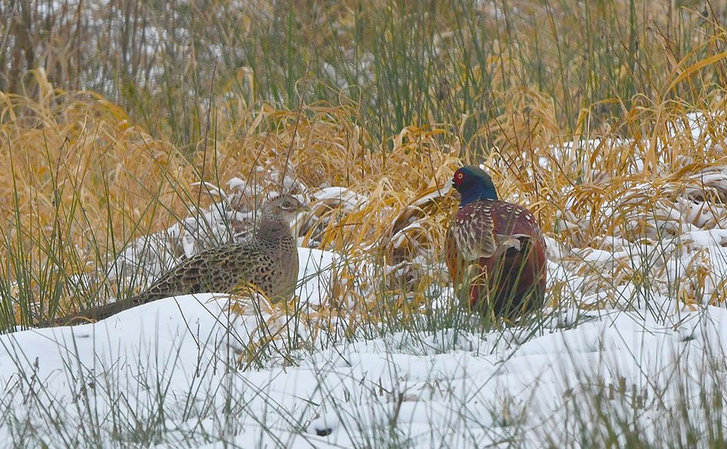 Een klein 'onder onsje' van fazantenhaan- en hen – Foto: ©Louis Fraanje