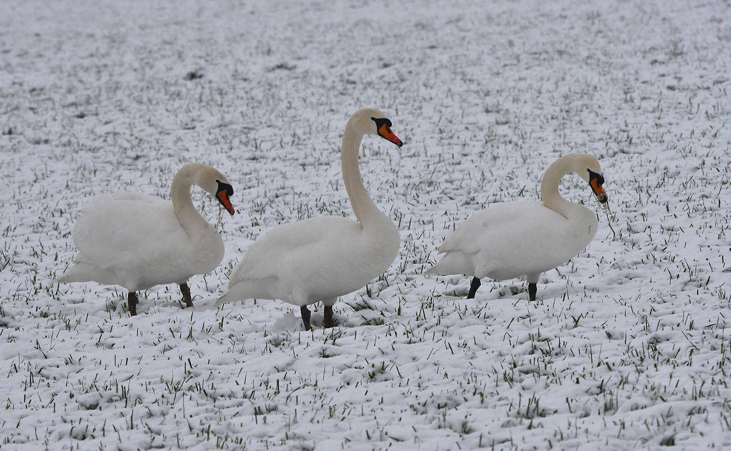 Op hun gemak stappen de Knobbelzwanen door het weiland – Foto: ©Louis Fraanje