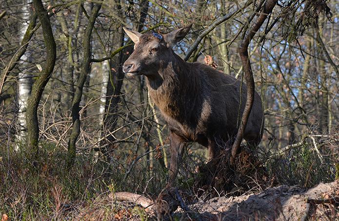 Een 'kale' Hubertus tussen het 'kale' hout - Foto: ©Florus van den Berg