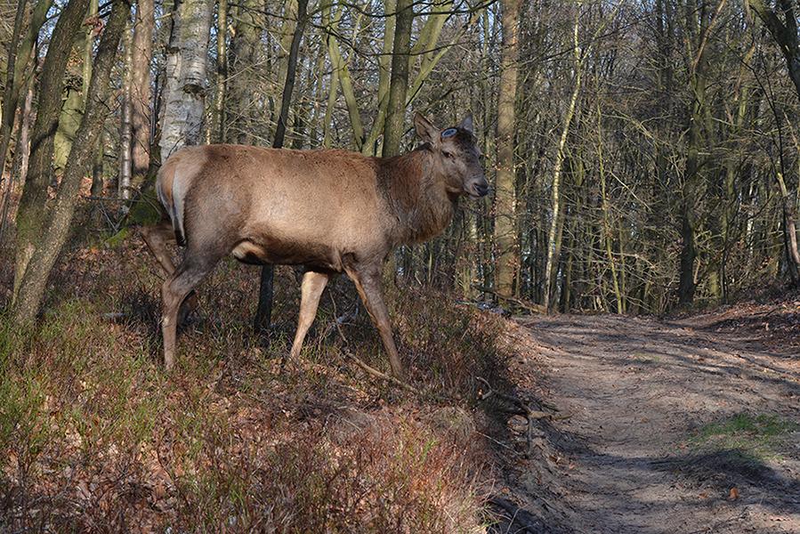 Even later steekt Hubertus vlak voor ons het bospad over - Foto: ©Florus van den Berg