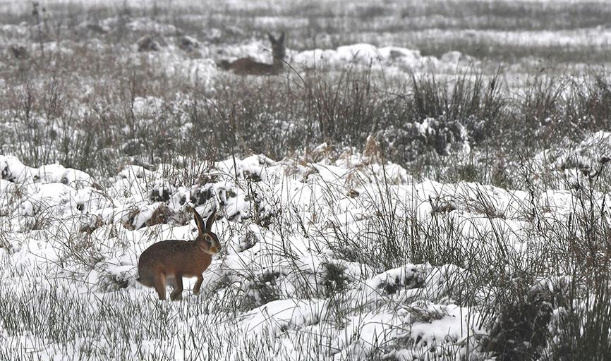 Huppelende haas door de sneeuw...