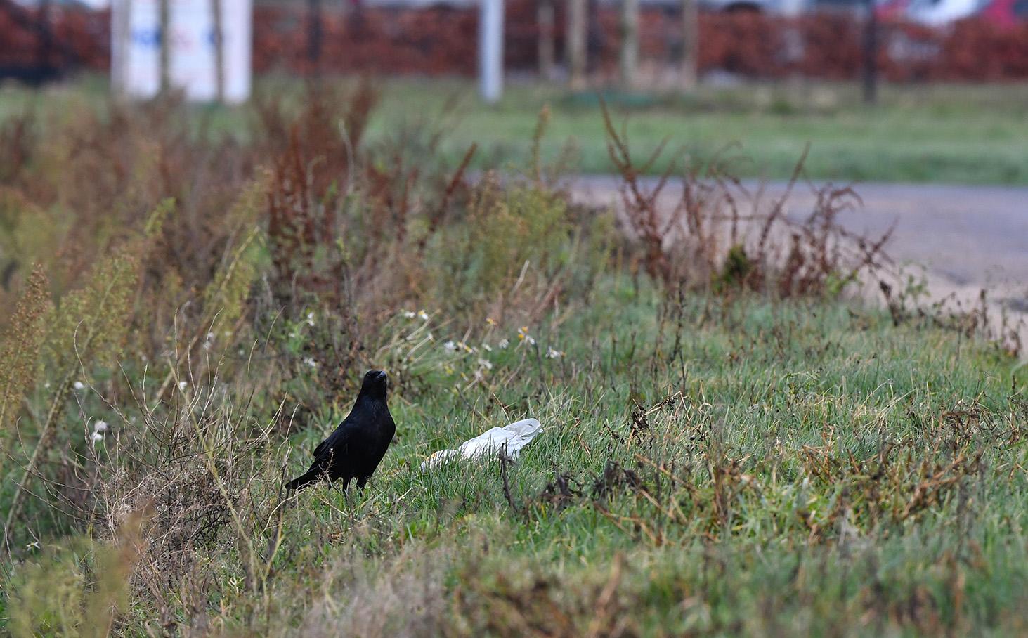 Een zwarte kraai in de berm bij een plastic zak – Foto: ©Louis Fraanje