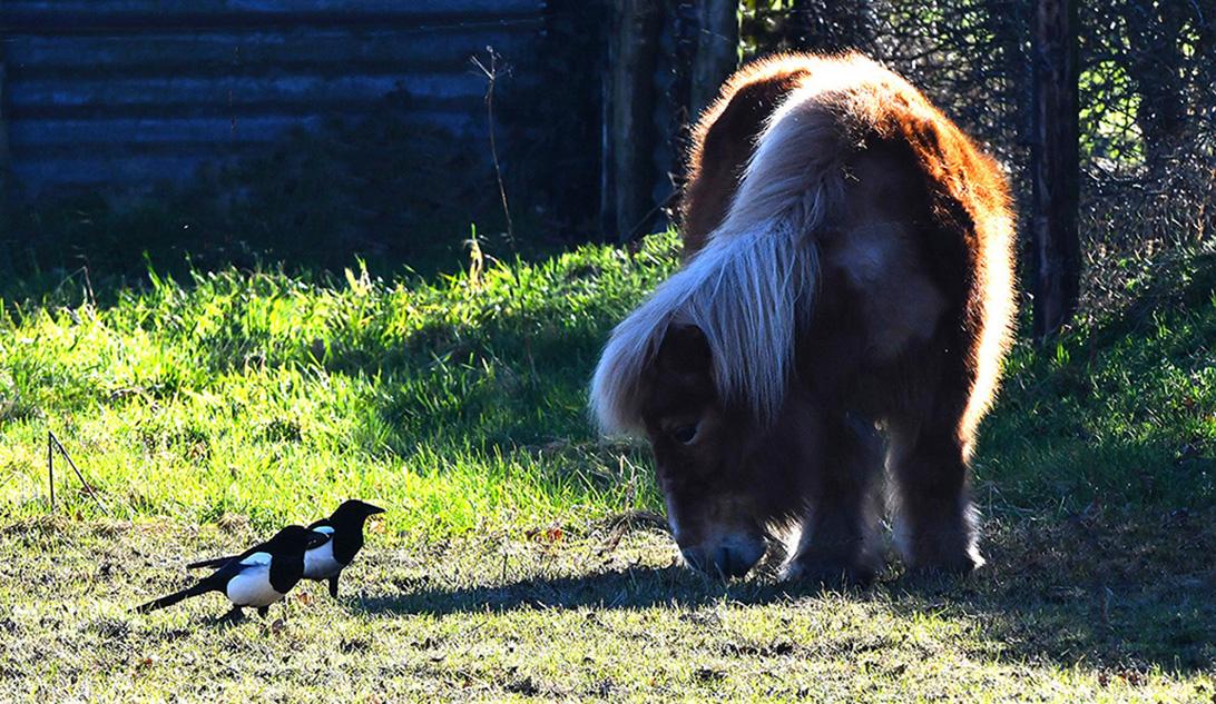 De twee eksters houden een 'buurtpraatje' met de grazende pony – Foto: ©Louis Fraanje