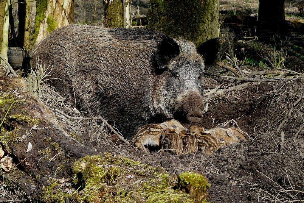 Wild zwijn met biggen in het bos op de Veluwe – Foto: ©Louis Fraanje