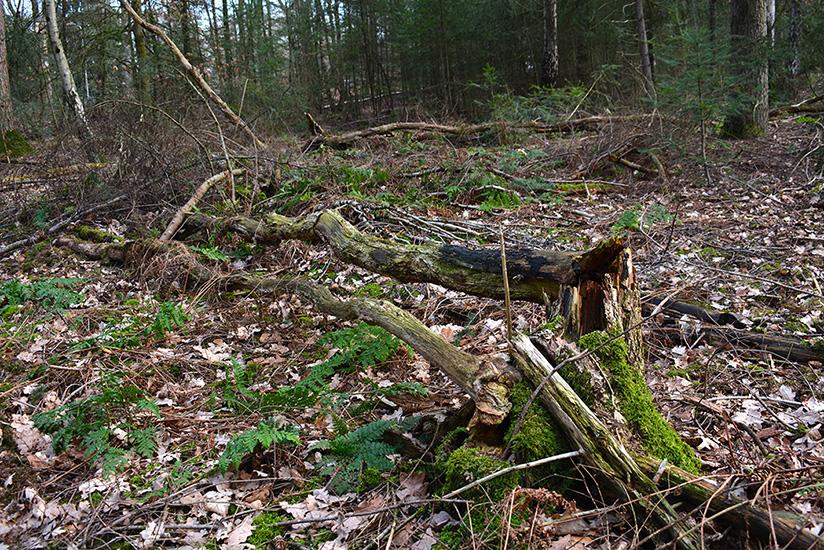 Restmateriaal kan beter in het bos achterblijven voor behoud van bodemvruchtbaarheid- Foto: ©Louis Fraanje