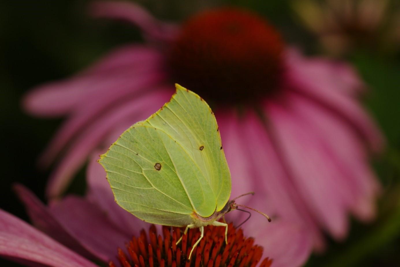 De citroenvlinder leeft dus elk jaar in één generatie - Foto: ©Gerrit de Graaff