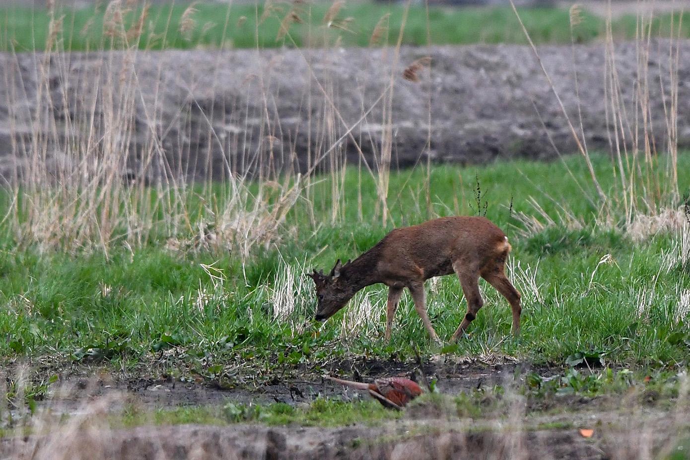 Inmiddels heeft hij gezelschap gekregen van een fazantenhaan – Foto: ©Louis Fraanje