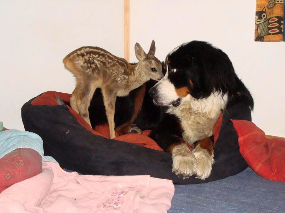 Het begin van een hele bijzondere vriendschap tussen de hond en het reekalfje - Foto: ©Susa Bobke