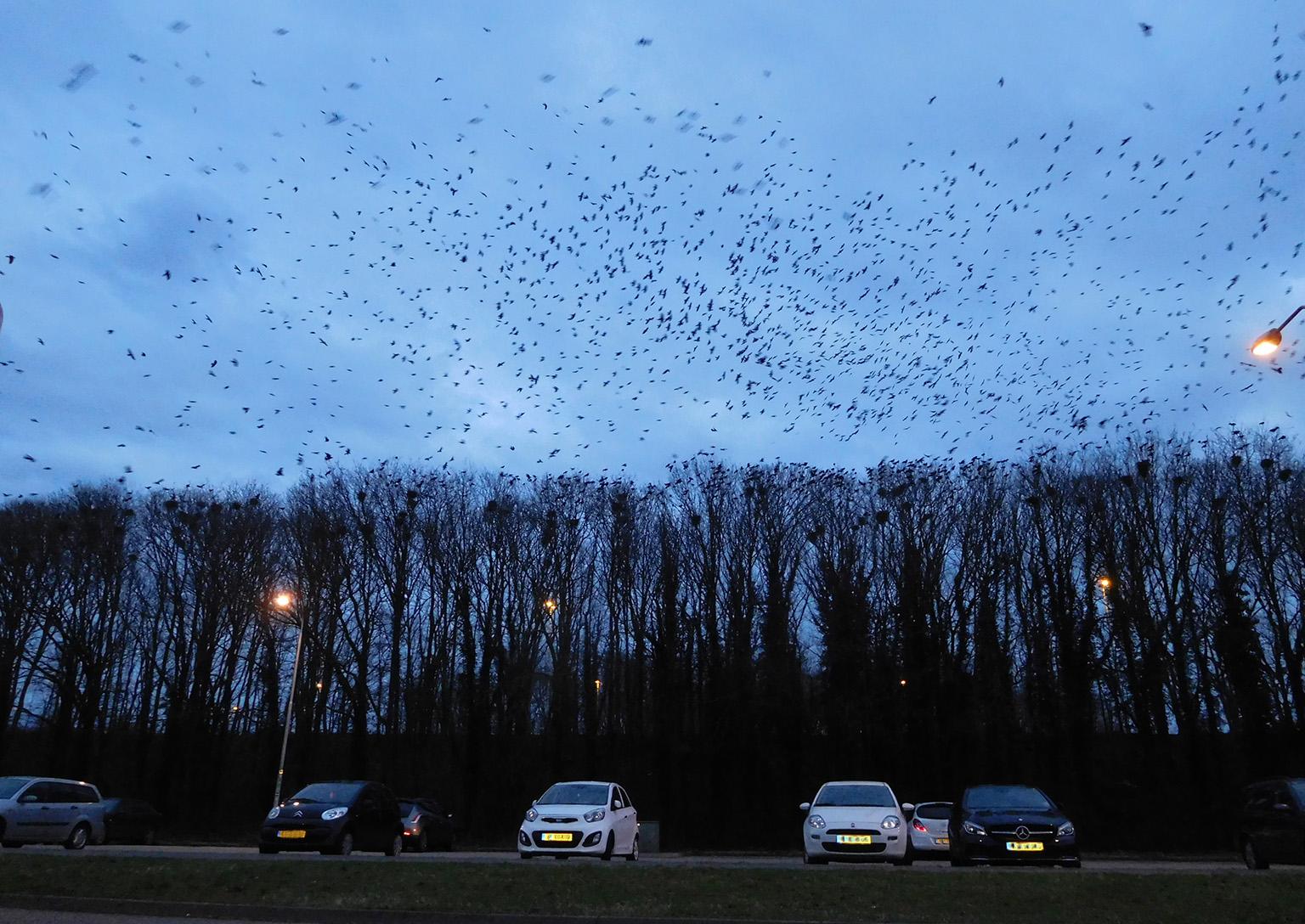 De enorme roekenkolonie bij Restaurant De Goudreinet in Barneveld/Terschuur - Foto: © Louis Fraanje