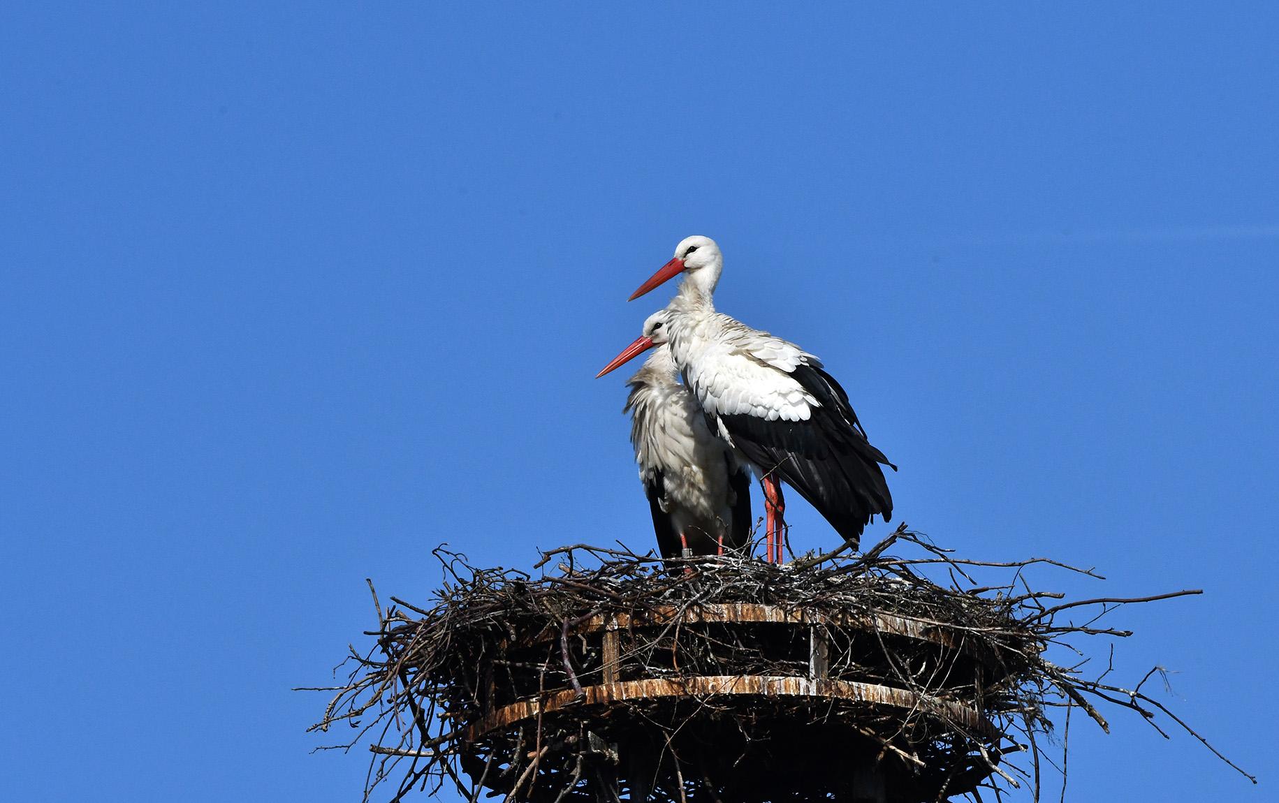 Het echtpaar ooievaar kijkt op ons neer vanaf hun nest – Foto: ©Louis Fraanje
