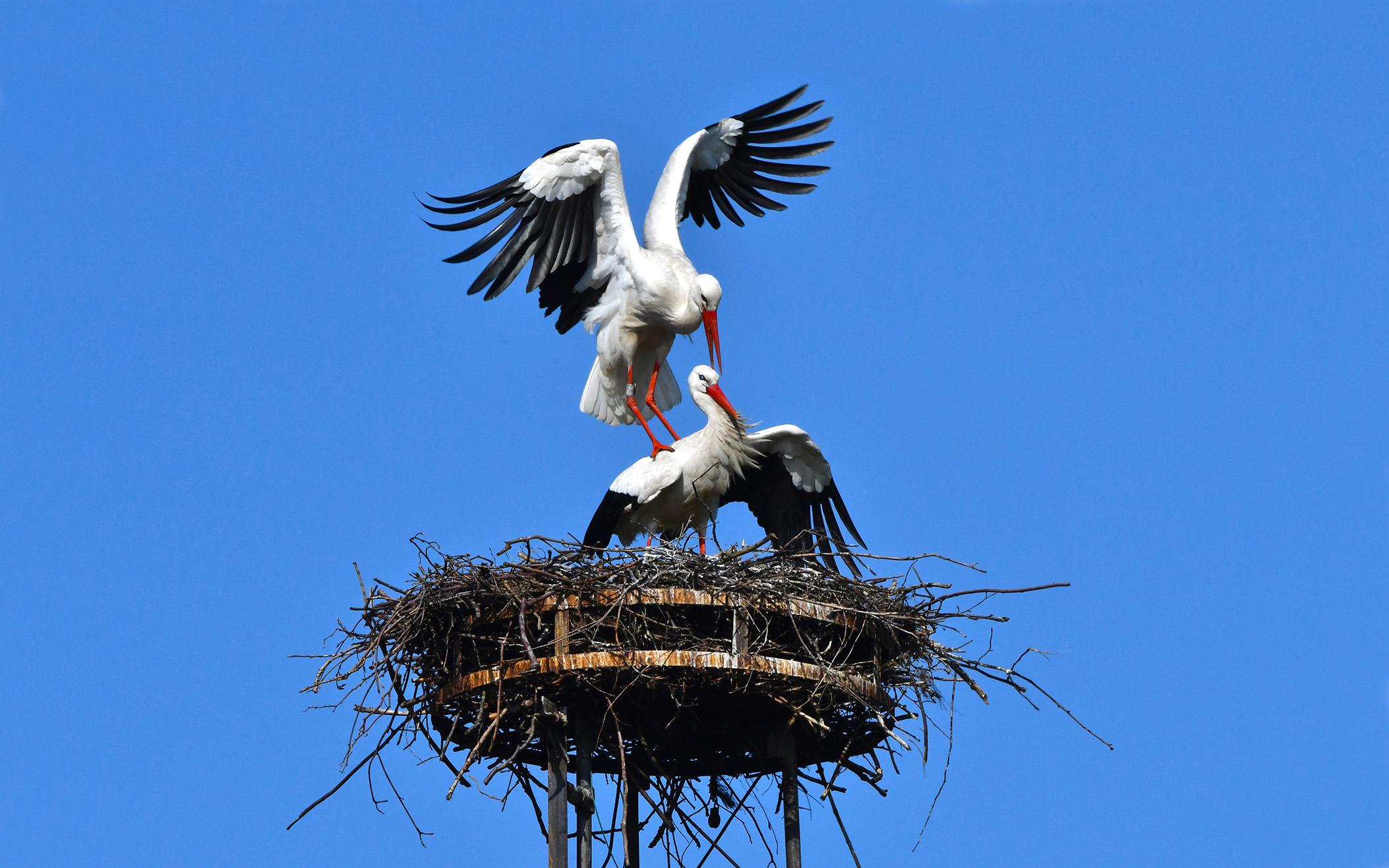 Met veel vleugelgeklapper klimt hij bovenop haar– Foto: ©Louis Fraanje