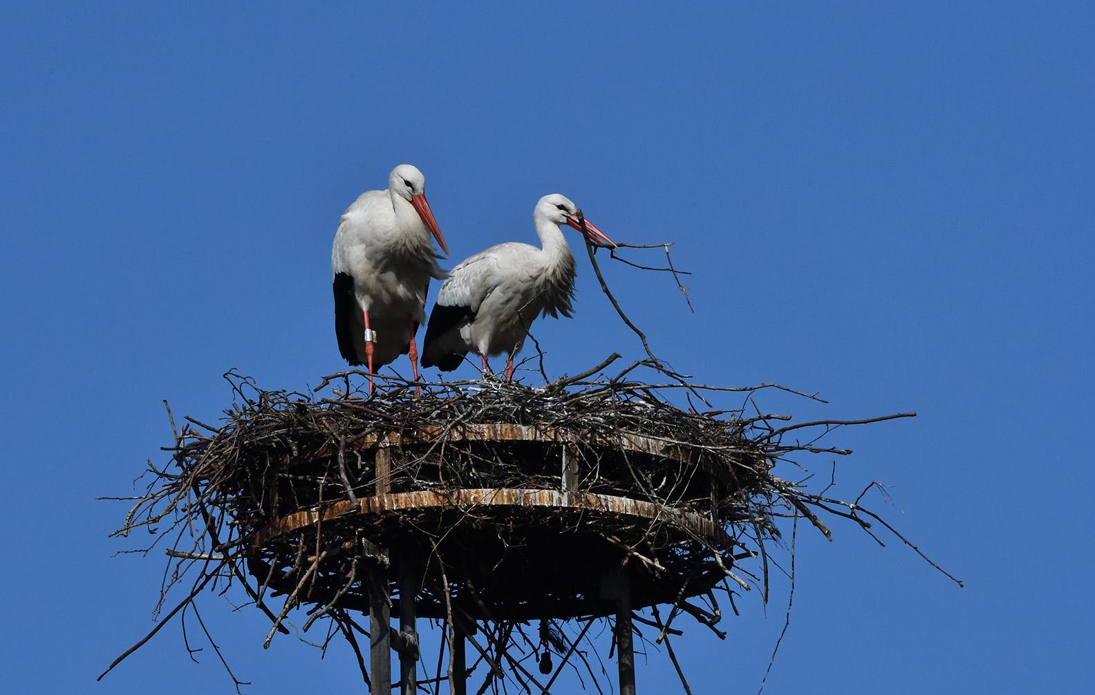 Ze zijn druk bezig om hun nest in orde te maken – Foto: ©Louis Fraanje