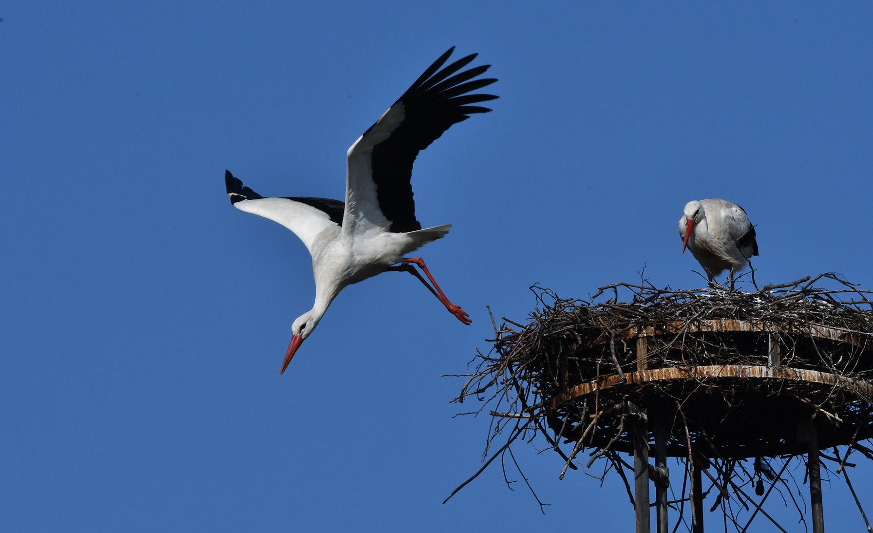 Er is genoeg werk aan het nest, dus op zoek naar materiaal – Foto: ©Louis Fraanje