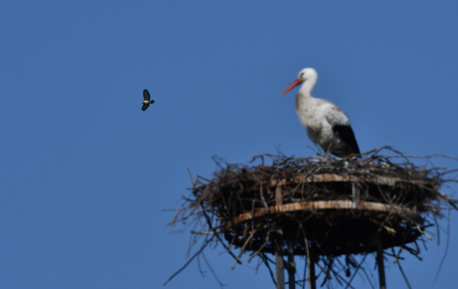 Hoog boven het nest zien we een buizerd cirkelen – Foto: ©Louis Fraanje