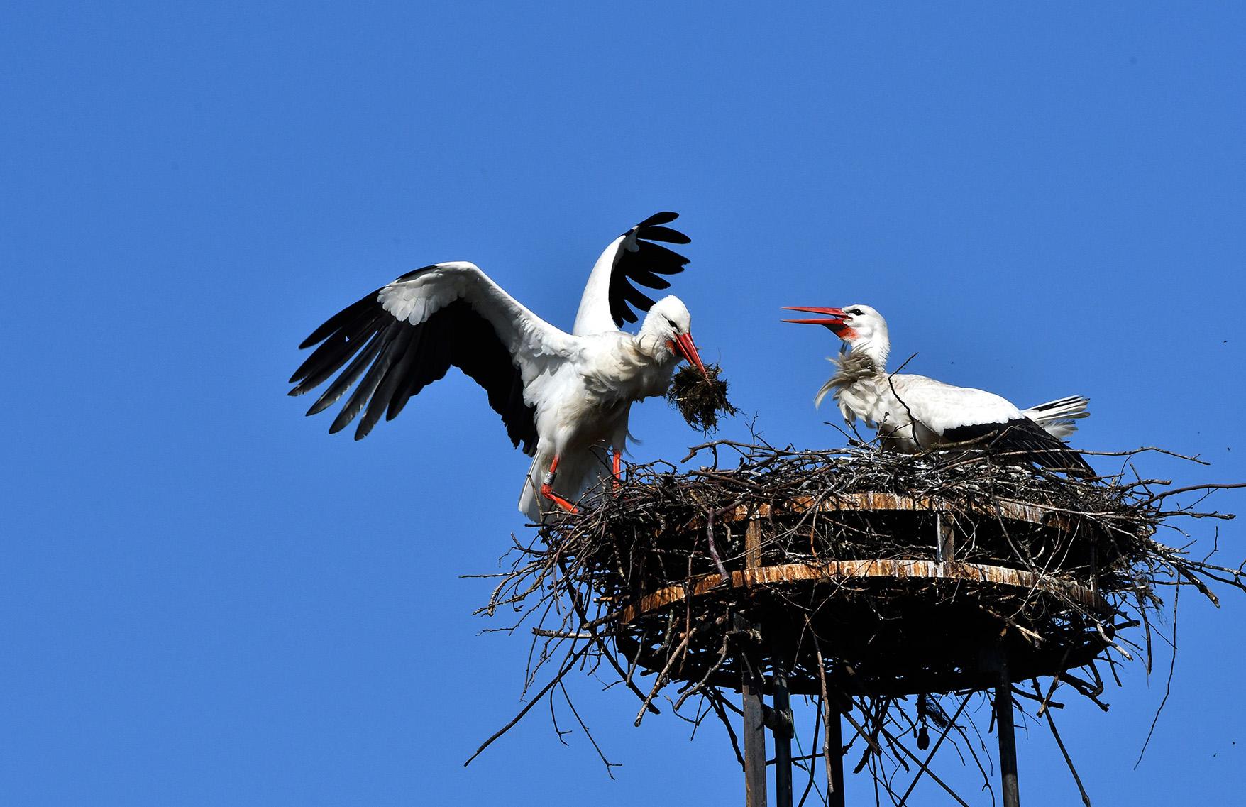 Ze vliegen af en aan met nestmateriaal – Foto: ©Louis Fraanje