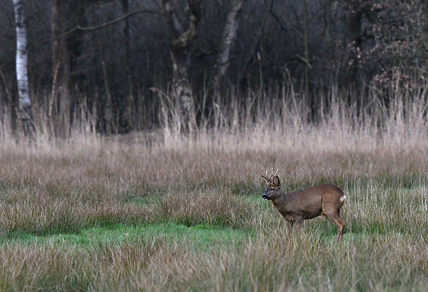 Daar stond ineens de bekende reebok Pollux II in het veld – Foto: ©Louis Fraanje