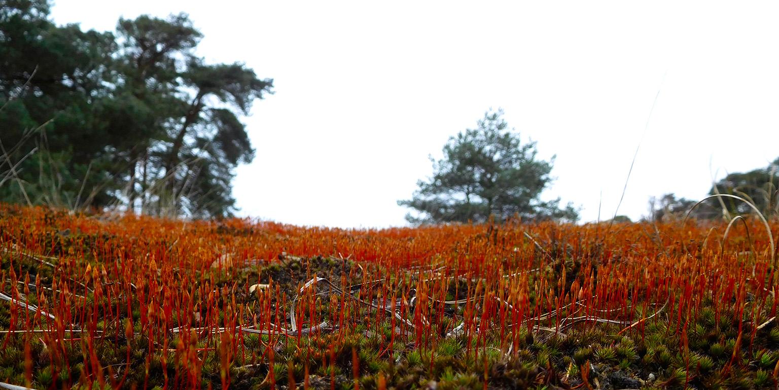 Prachtig rood tapijt van Zandhaarmos op de Veluwe - Foto: ©Fransien Fraanje