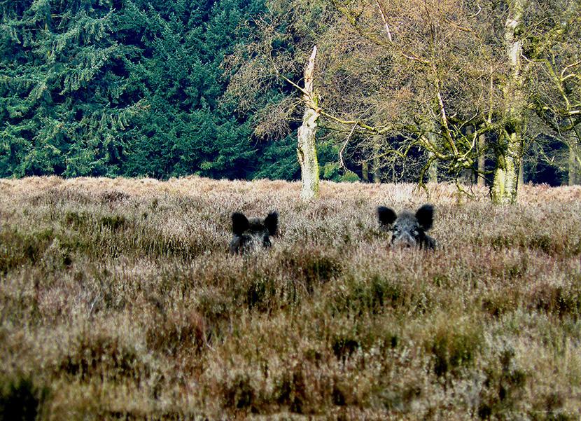 Ineens stonden we 'oog in oog' met wilde zwijnen - Foto: ©Louis Fraanje