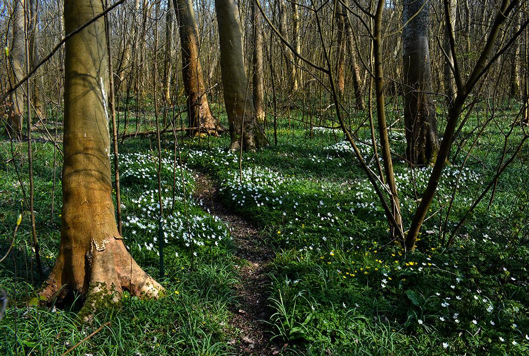 Prachtige lappendeken van bosanemoontjes tussen de bomen – Foto: ©Louis Fraanje