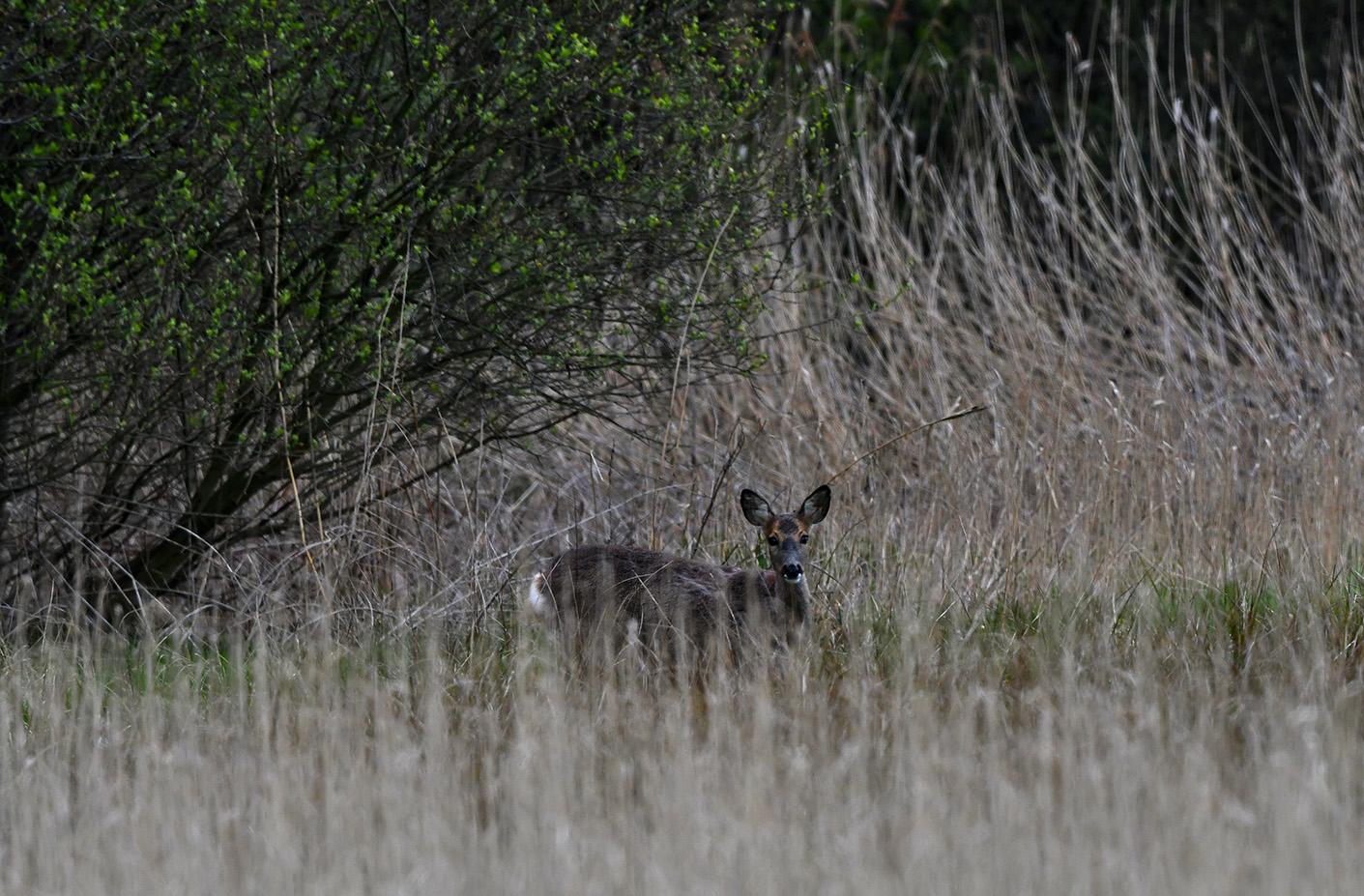 Na een lange wachttijd verschijnt er een reegeit aan de rand van het veld – Foto: ©Louis Fraanje