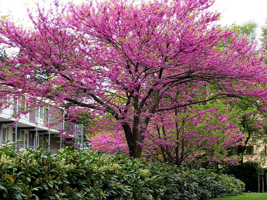 Enkele prachtige paars/rose bloeiende bomen in Ede - Foto: ©Fransien Fraanje