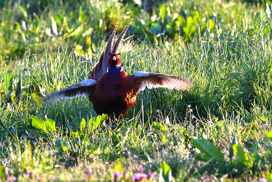 en slaat met zijn vleugels - Foto's: ©Louis Fraanje