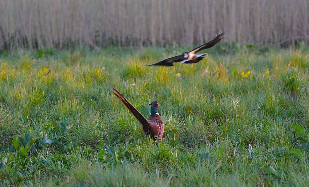 De kieviten proberen de pronkende fazantenhaan te verjagen - Foto: ©Louis Fraanje