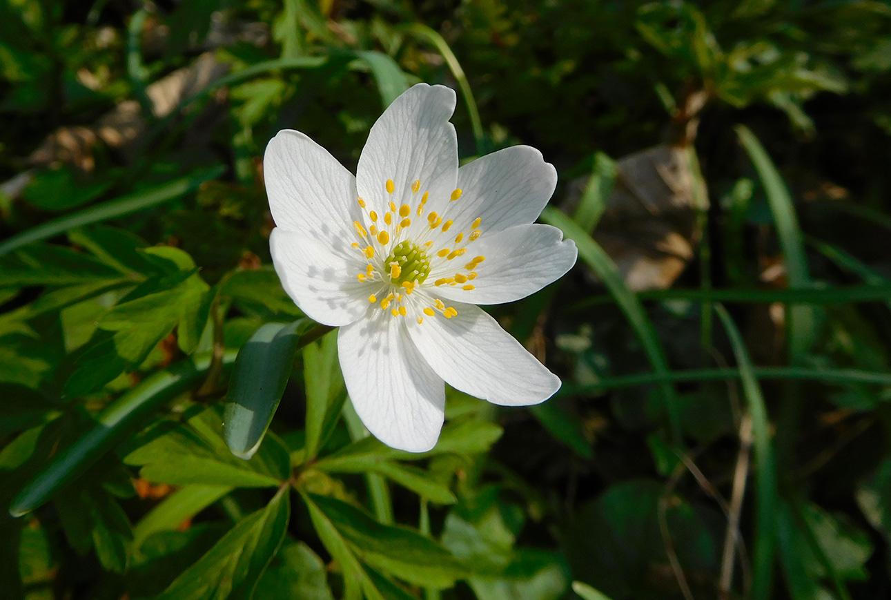 Bosanemoon is een echte lentebloem...
