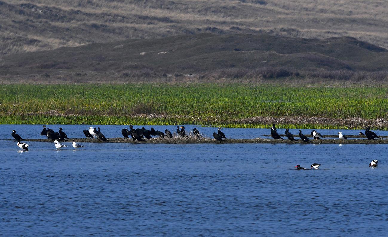 Ook aalscholvers waren in grote getale aanwezig – Foto: ©Louis Fraanje