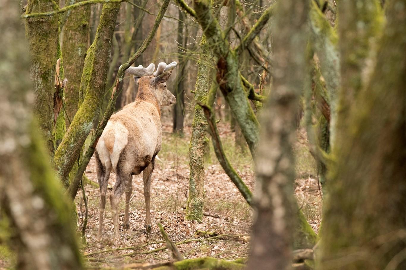 In het eiken bosvak stond Hubertus als ware deze buitenfotograaf op te wachten – Foto: ©Ton Heekelaar