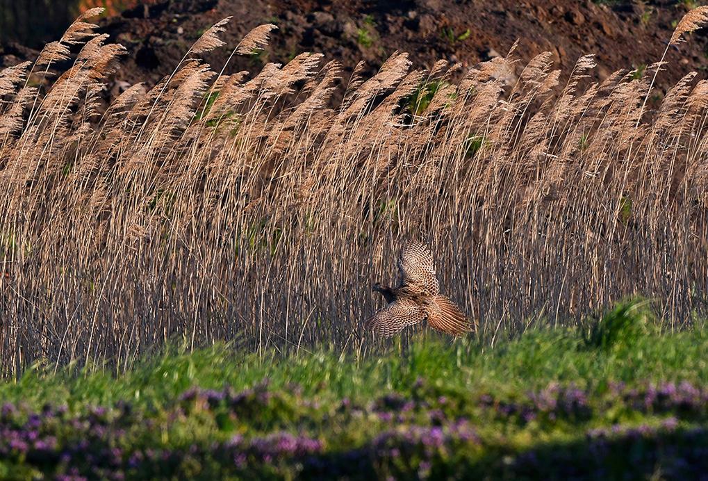 Er komt een fazantenhen aanvliegen en landt bij de rietkraag - Foto: ©Louis Fraanje