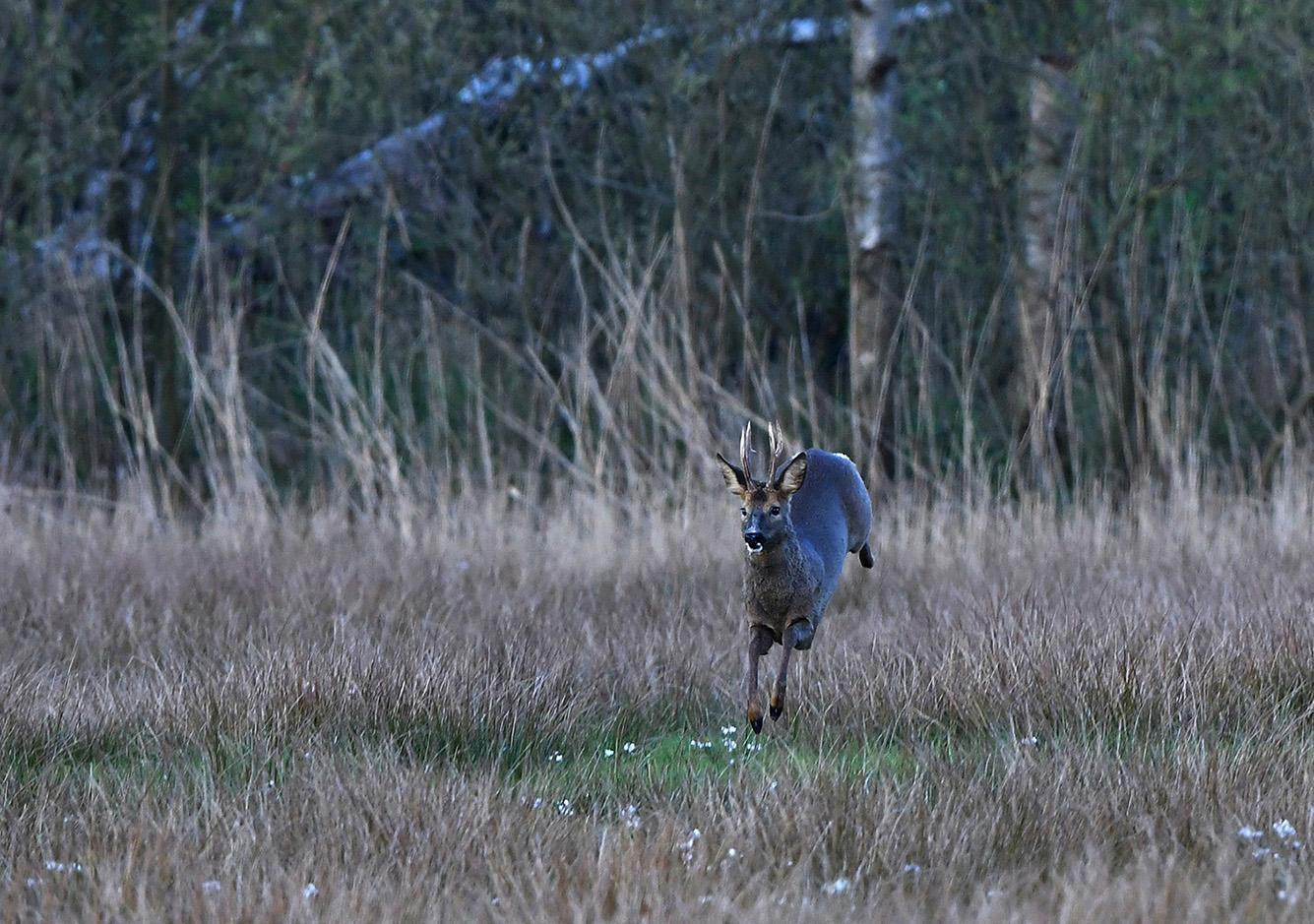 Met enorme grote sprongen komt hij dichterbij – Foto: ©Louis Fraanje