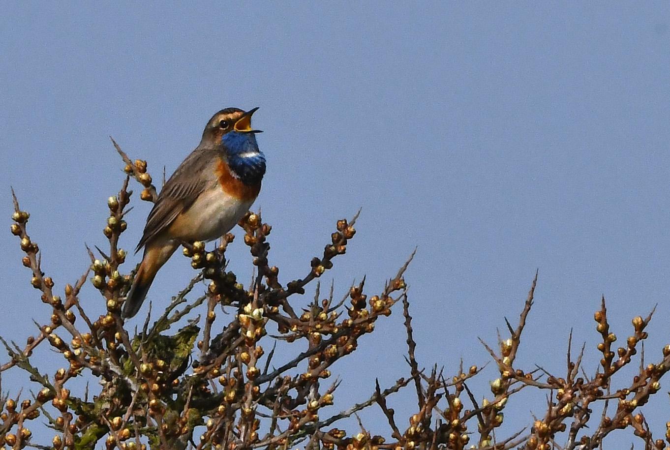 De prachtige vogel zingt - letterlijk en figuurlijk - uit volle borst – Foto: ©Louis Fraanje