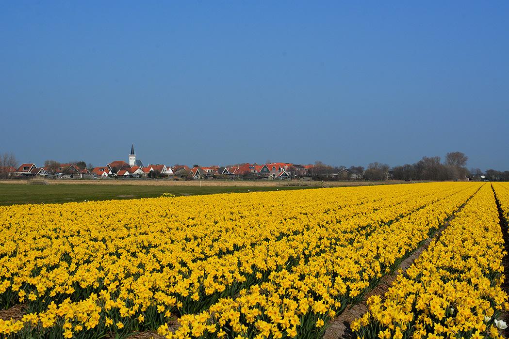 Prachtige velden met bloeiende narcissen en daarachter het witte kerkje van Den Hoorn – Foto: ©Fransien Fraanje