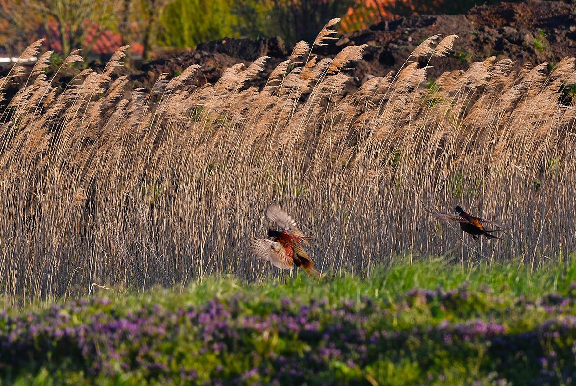 Ook komen er nu veel fazanten-hanen binnenvallen - Foto: ©Louis Fraanje