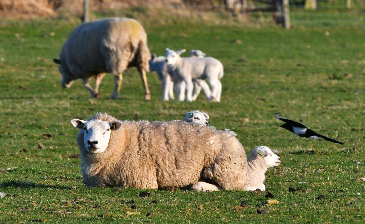 Op Texel zijn overal de pasgeboren lammetjes te bewonderen – Foto: ©Louis Fraanje