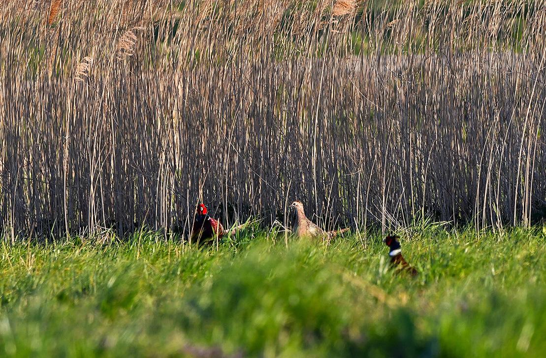 De vele fazanten strijden om de hennetjes in het veld - Foto: ©Louis Fraanje