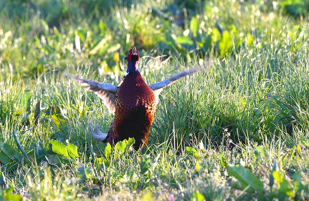 De fazantenhaan kraait...