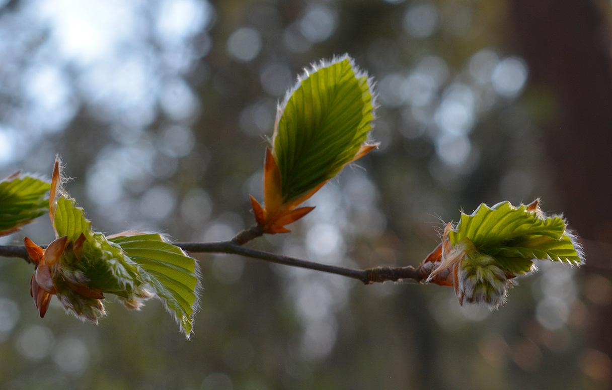 Het 'ontluikende' nieuwe leven, de knoppen barsten open en het bos komt weer tot leven, maar... de verwondering blijft! - Foto: ©Louis Fraanje