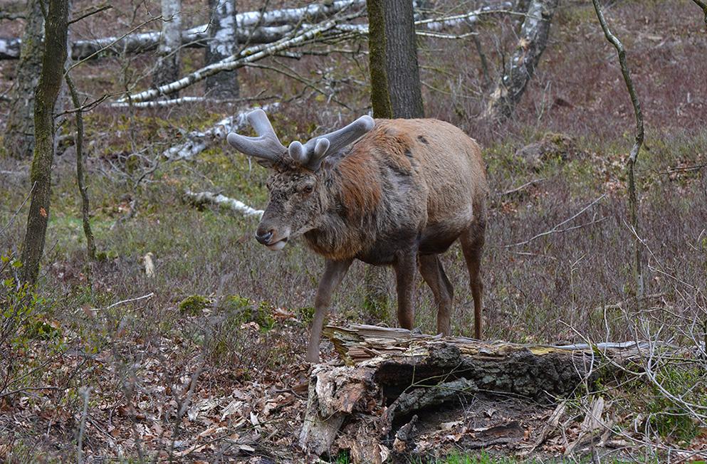 Daar kwam Hubertus ons al tegemoet wandelen – Foto: ©Florus van den Berg